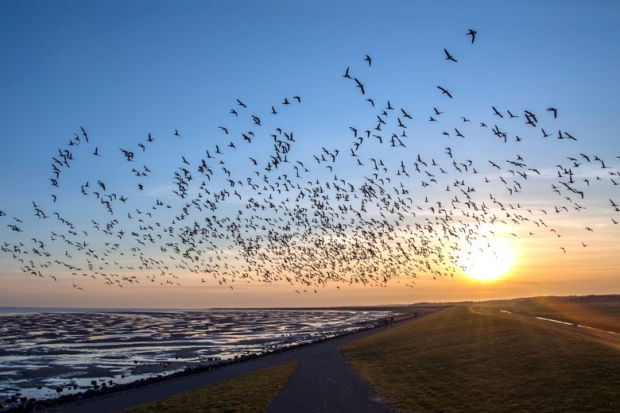 Flock of flying birds migrating