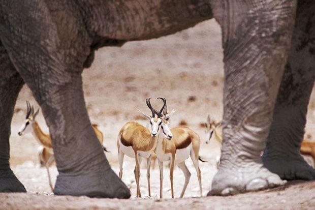 Gazelles standing among elephants