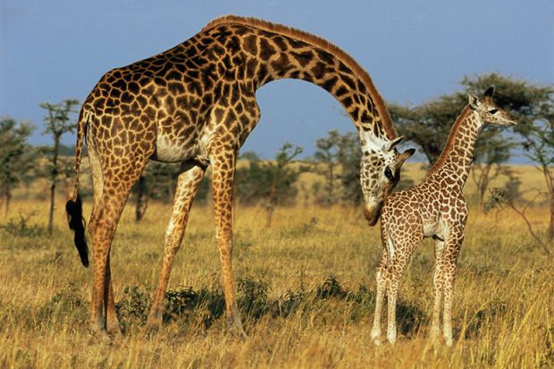 Giraffe mother and child