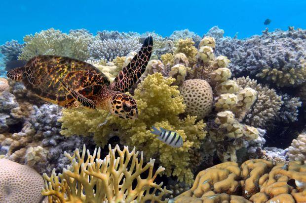 green turtle swimming in blue ocean,great barrier reef.