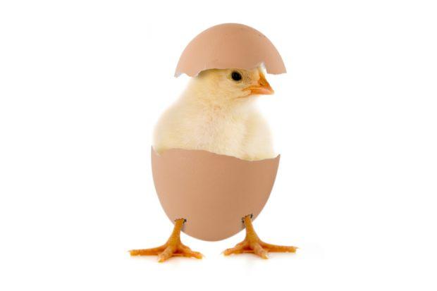 Chicken in an egg