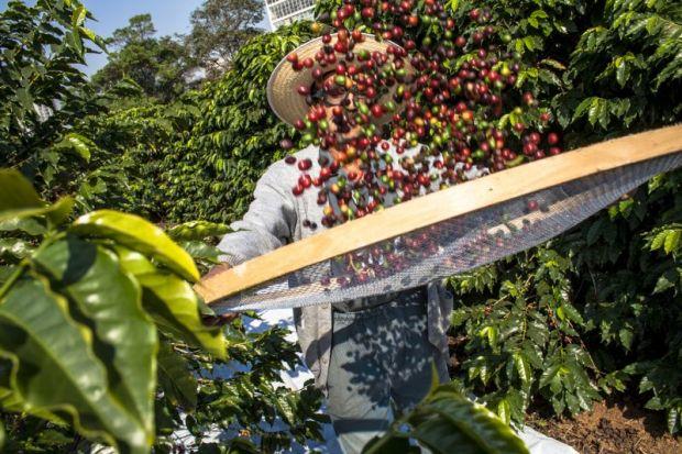harvesting coffee Brazil