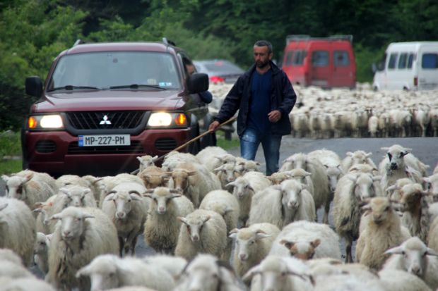Kutaisi, Georgia. May 22, 2016. A sheepherder herds sheep on a road crowded with automobiles.