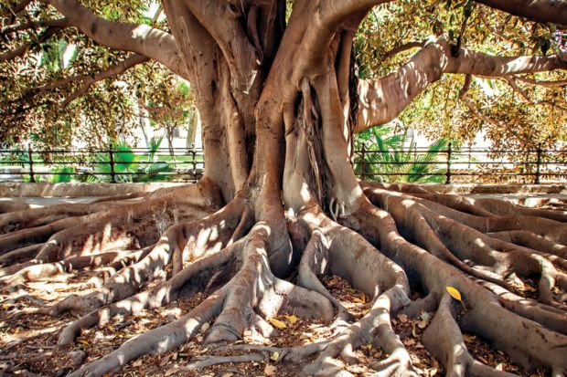 Large ficus tree with exposed roots
