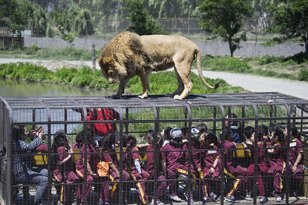 Lion on top of cage full of people