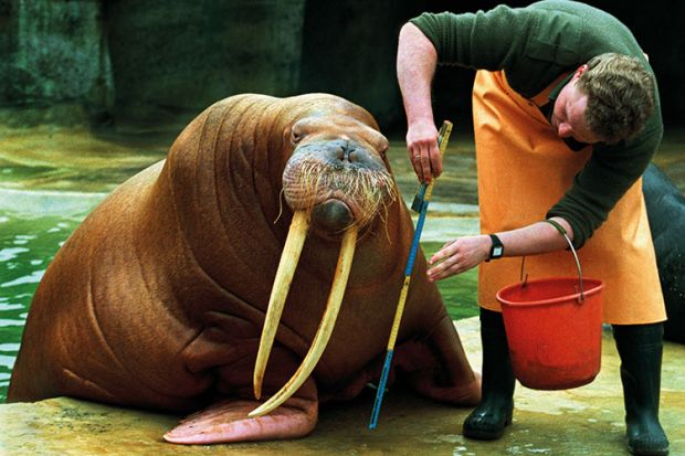 Man measuring walrus