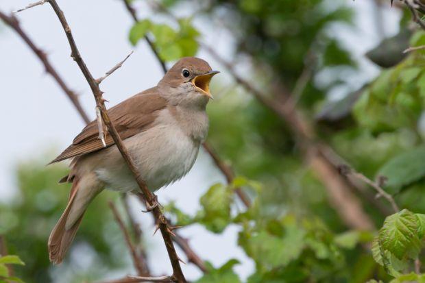 bird, nightingale
