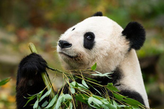 Panda eating bamboo, symbol of China