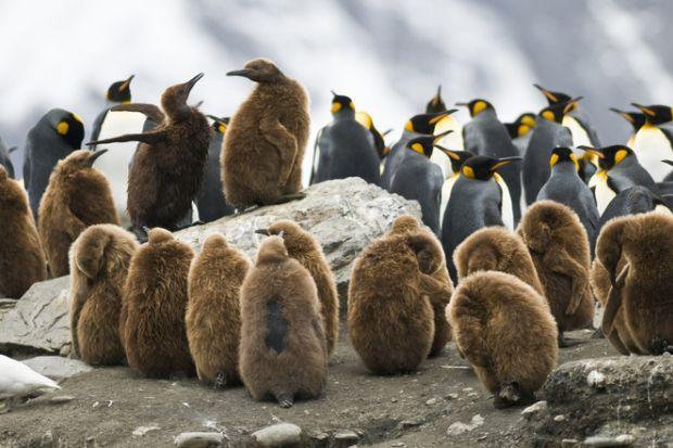 Juvenile penguins huddling