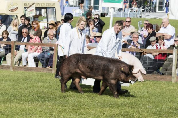 Pig being judged in competition by people in white coats