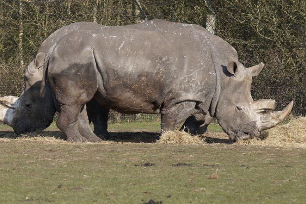 Rhino looks two-headed