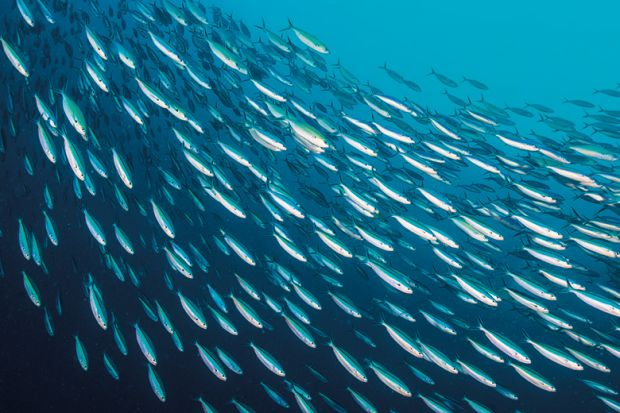 School of sardines swimming in ocean