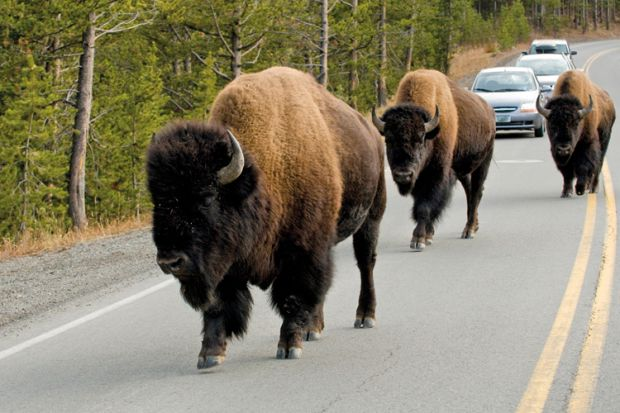 Bison on road, Yellowstone