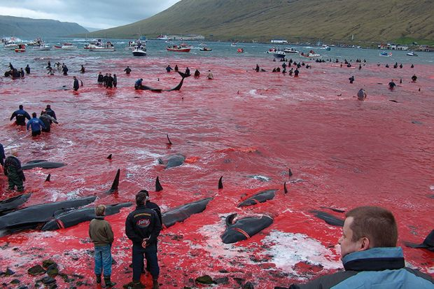The sea red with blood after a whale hunt in the Faroe Islands
