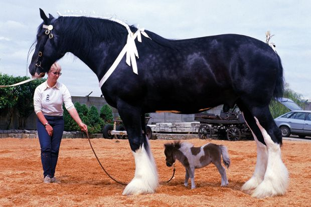 Shire horse Goliath meets miniature horse Bluebell