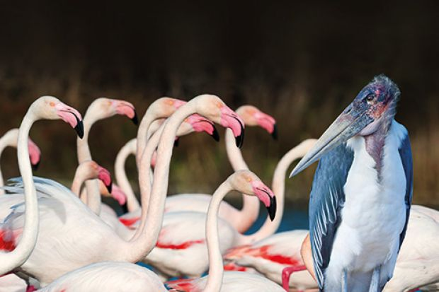 Stork among flamingos