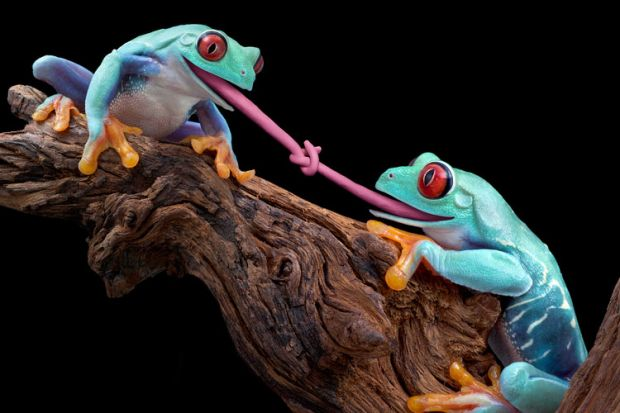 Tongue-tied blue frogs on tree branch