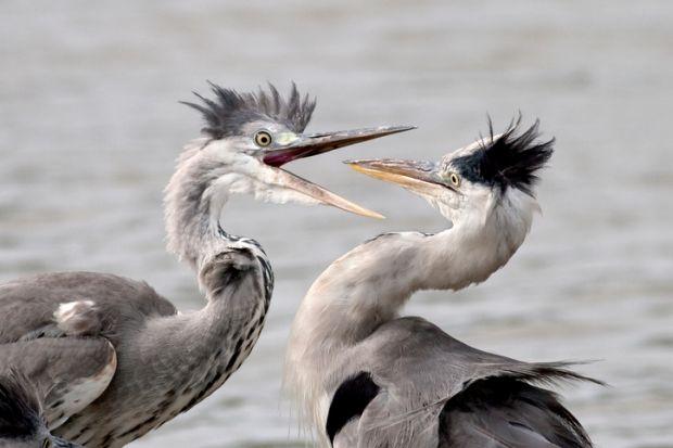 Two herons fighting