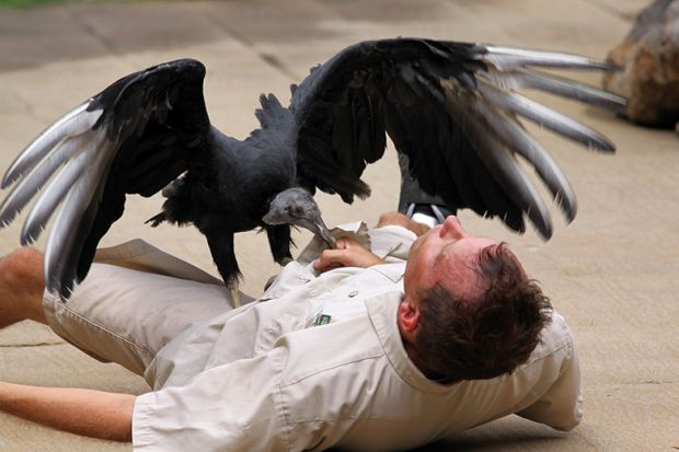A vulture on a man's body