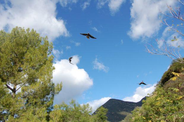 Vultures in California