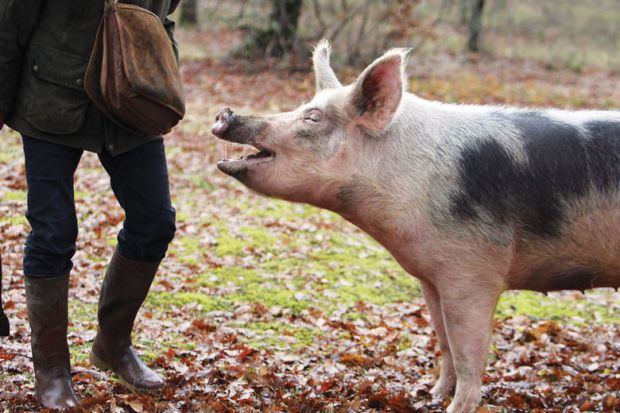 Pig with mouth open looking at persons bag.