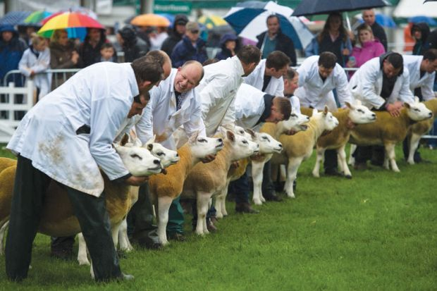 Sheep are being judged in a show ring