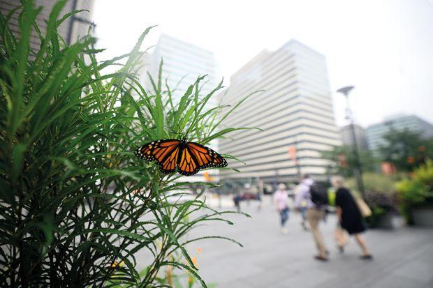 Monarch butterfly in city