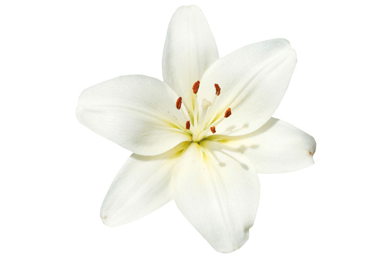 White flower isolated on white background